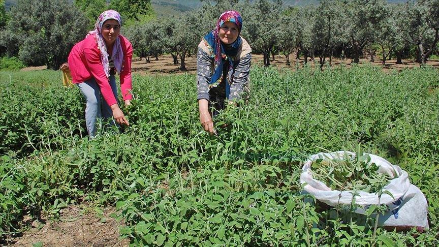 Şarköy'den 7 ülkeye ada çayı ihracatı