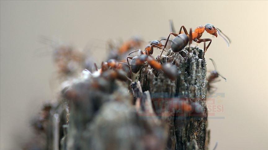 'Orman gönüllüsü' kırmızı karıncalar