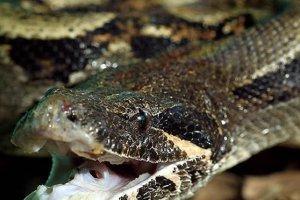 Kadın beslediği piton yılanı tarafından öldürüldü
